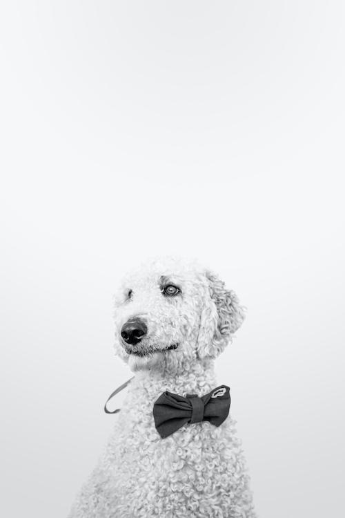 Bürohund Anton